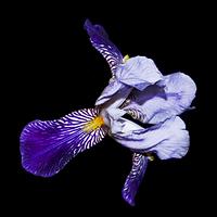 extrait-parfum-alaia-paris-x-sarah-beeby-note-coeur-iris