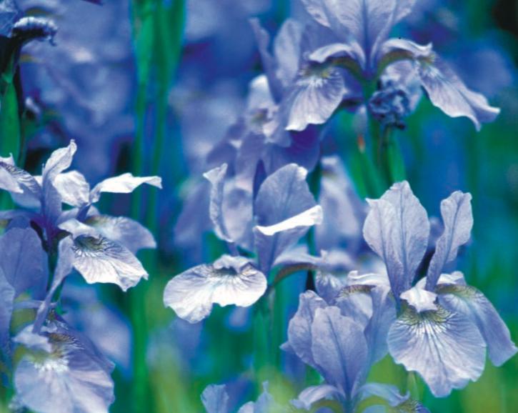 iris-elu-fleur-de-lannee-fragonard-amour-vrai