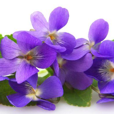 iris-elu-fleur-de-lannee-fragonard-violette-héliotrope