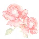 aerin-hommage-beaute-intemporelle-roses-rose