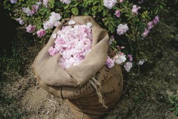dans-les-champs-de-chanel-grasse-livre-recolte-fleurs 2
