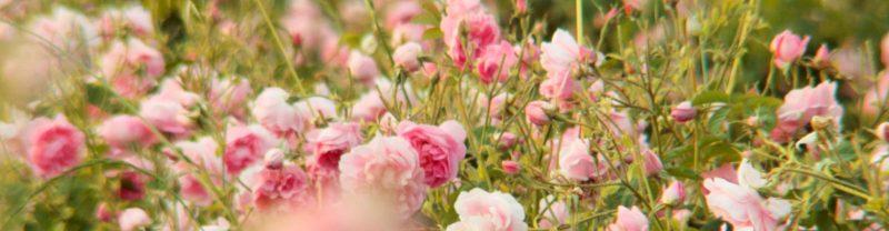 dans-les-champs-de-chanel-grasse-rose