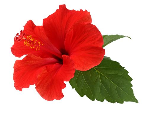 la-detox-par-les-plantes-naturellement-boosters-cjuice-sos-bikini-hibiscus