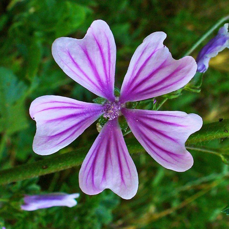 b-slim-le-secret-des-belles-plantes-mauve-frisee