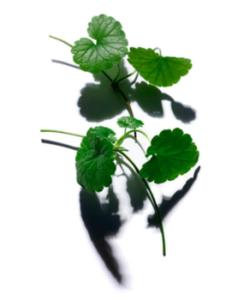 nouvel-ambassadeur-daudace-clarins-men-centella-asiatica
